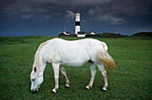 White horse in front of lighthouse, Kampen, Sylt, Schleswig-Holstein, Germany