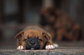 Hundewelpen Irian Jaya