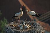 Weissstoerche im Nest
