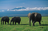 African elephants on a African plain, Kilimanjaro in the background, Tanzania, Africa