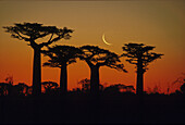 Silhouette of baobabs in the evening light at sunset, Cresent Moon in the background, Madagaskar, Africa