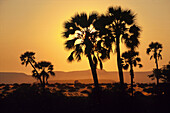 Silhouette of palm trees at sunset over Damaraland, Namibia, Africa