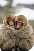 Japanese Macaques hugging, Japanese Alps, Japan