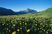 Mountain meadow with yellow flowers, Upper Bavaria, Germany
