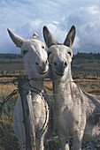Two donkeys at a fence, Ring of Kerry, County Kerry, Ireland, Europe