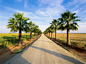 Palm tree avenue, countryside, Province of Huelva, Andalusia, Spain