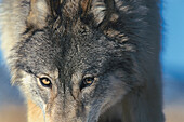 Close up of a grey wolf, Canis lupus, Wild animal, North America, America