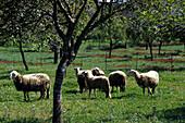 Schafe, San Juan, Ibiza, Balearen, Spanien