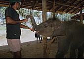 Man feeding an elephant baby at elephant orphanage, Pinnawela, Sri Lanka, Asia