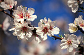 Almond blossom in the sunlight, Valle dei Templi, Agrigento, Sicily, Italy, Europe