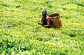 One african woman gathering tea leaves [-], tea fields [-], Limuru, Kiambu, Kenya, Africa