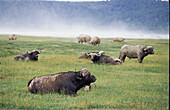 Buffalo covered in sand, animal buffalo