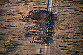 Aerial view of a Cattle Herd, South Australia Australia