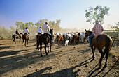 Cowboys driving a cattle herd on a paddock, South Australia, Australia