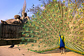 Peacock in front of sculpture, near Palace on the Water Warsaw, Poland