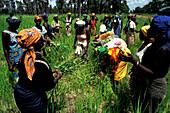 Women in field, Rice Crop Gambia, Africa