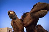 Camel farm, Playa Blanca, Lanzarote, Canary Islands, Spain