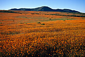 Spring Blossoms, Northern Cape, Namaqualand South Africa