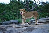 Lion, Krueger NP, South Africa