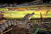Little alligator, Tortuguero National Park, Costa Rica, Caribbean, Central America