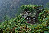 Overgrown stone house at the mountainside, Corippo, Verzasca, Ticino, Switzerland
