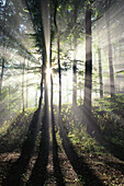 Sunbeams dancing through the trees, deciduous forest, Beech trees, Bavaria, Nature