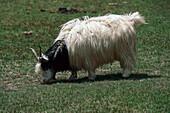 Grazing Cashmere goat, Qinghai, Tibet, China, Asia