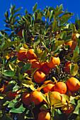 Orange tree, Crete Greece