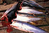 Fishing, S.Maria, Sal, Cape Verde Islands, Africa