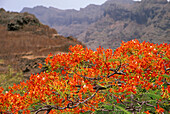 Landscape with blooming bush, Paul, Santo Antao, Cape Verde, Africa