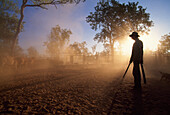 A man and a cattle herd in the light of the evening sun, Gorrie Station, Northern Territory, Australia