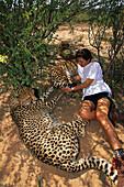 A woman and three cheetahs in the shadow of a bush, Okonjima, Namibia, Africa