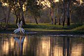 Pelicans standing in the water at dusk, Yellow Water Wetlands, Kakadu National Park, Northern Territory, Australia