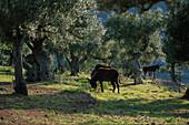 Mules grazing beneath olive trees, Sierra de Tramuntana, Majorca, Spain, Europe
