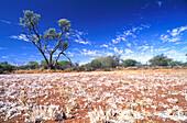 Bluehende Straeucher, Outback, oestl. Carnarvon Westaustralien