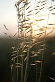 Corn at sunset, Corn at sunset, Close-up of corn at sunset, wellness nature