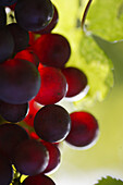 Bunch of grapes, Bunch of grapes, Close-up of bunch of grapes, Styria, Austria , Wine vine