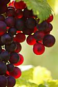 Bunch of grapes, Bunch of grapes, Bunch of grapes, Styria, Austria, Wine vine