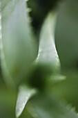 Aloe plant, Plant Nature Health Wellness