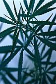 Cannabis plant, Jamaica