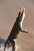 Jumping Crocodile snap a bait, Adelaide River NT, Australia