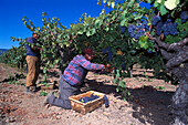Grape harvest, Napa Valley, Rutherford, California USA