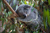 Sleeping Koala, Lone Pine Koala Sanctuary Brisbane, Queensland, Australia