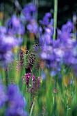 Iris Sibirica, Allium, Akureyri Botanical Garden, Akureyri, Iceland