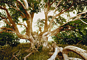 Beech tree circa 400 years old, Bavaria, Germany