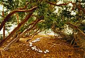 Row of boxwood trees circa 300 years old, Saxony-Anhalt, Germany