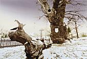 Oak tree circa 1000 years old, Thuringia Germany