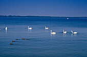 Swans on lake, Mecklenburg Lake District, Mecklenburg-Western Pomerania, Germany