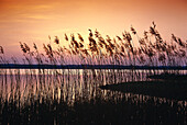 Reed in sunset light, Muritz Lake, Mecklenburg Lake District, Mecklenburg-Western Pomerania, Germany