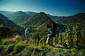 Vintage, Grape harvest in Ahrtal near Mayschoss, Eifel, Rheinland Pfalz, Germany